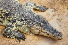 Closeup of a crocodile Stock Images