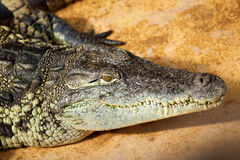 Closeup of a crocodile Royalty Free Stock Images