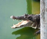Closeup of a crocodile Stock Image