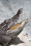 Closeup a crocodile head at a open mouth Royalty Free Stock Image