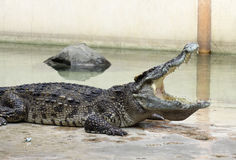 A closeup of a crocodile with open jaws Stock Photography