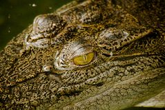 Closeup of a crocodile Stock Photography