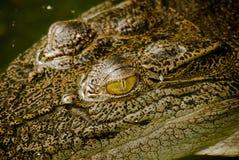 Closeup of a crocodile Stock Photography