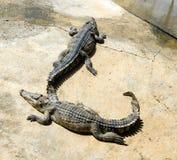 Closeup of crocodile Stock Photography
