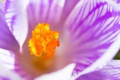 Closeup crocus flower Stock Images