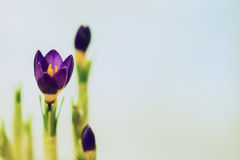 Closeup crocus on gentle background. Concept of spring, gardening, flowers. Place for your text. Romantic pattern Royalty Free Stock Image