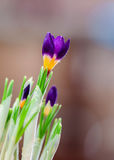 Closeup crocus on gentle background with real reflection light, real gradient, undertone. Concept of spring, beauty in Stock Photography