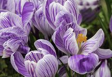 Closeup of Crocuses Beginning to Bloom Stock Photography