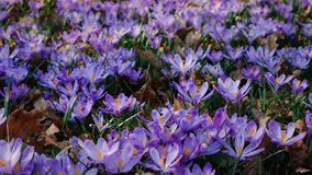 Closeup of crocuses spring flowers in the forest stock footage