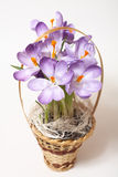 Closeup of crocuses on white background Stock Images