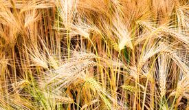 Crop on field Royalty Free Stock Photo