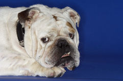Closeup Of Cropped Bulldog Lying Down Stock Image