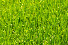 Closeup of crops Royalty Free Stock Photos