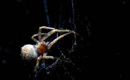 Closeup of a cross spider in its web Stock Photos