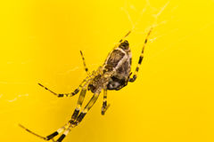 Closeup of a cross spider Royalty Free Stock Photo