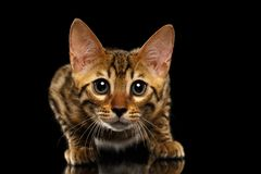 Closeup Crouching Bengal Kitty Isolated on Black Royalty Free Stock Photography