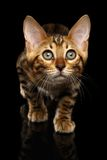 Closeup Crouching Bengal Kitty Isolated on Black Royalty Free Stock Images
