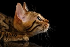 Closeup Crouching Bengal Kitty in Profile View on Stock Images