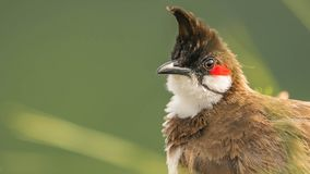 Closeup of the crown: Pycnonotus jocosus or Red-whiskered bulbul stock images