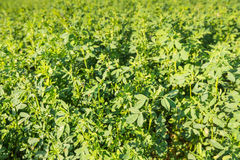 Closeup  of cultivated Clover at farmland Stock Image