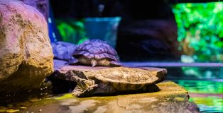 Closeup of a cumberland slider turtle laying on a rock with two other turtles in the background, a tropical reptile from America. A closeup of a cumberland stock photo