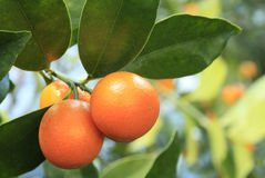 Closeup of Cumquats Growing on the Tree Stock Photo