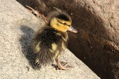 Closeup of a cute Mallard ducking standing on rocks. Closeup of a cure Mallard ducking standing on rocks Stock Images