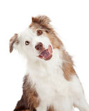 Closeup of Curious Border Collie Dog Royalty Free Stock Photo