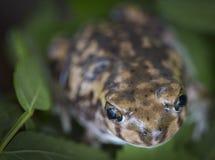 Closeup of Curious Garden Toad Royalty Free Stock Image