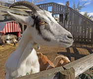 Closeup of curious goat Stock Photos