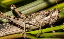 Closeup of Curious Grasshopper Stock Photos