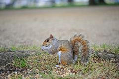 A curious squirrel in the park. royalty free stock photos