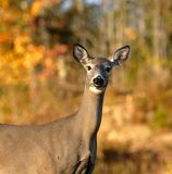 Closeup Curious White-Tailed Deer Autumn Background. A curious white-tailed deer in autumn near Sussex, Kings County, New Brunswick, Canada stock photography