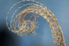 Closeup of curled top of pampas grass in early spring Stock Photos