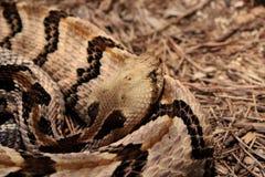 Closeup of a Curled Up Rattlesnake.  Royalty Free Stock Photos