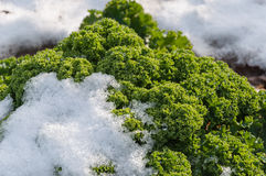 Closeup of curly kale with snow. Detailed view of snowy borecole on the field in winter Royalty Free Stock Photography