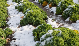 Closeup of curly kale with snow. Detailed view of snowy rows of borecole on the field in winter Stock Images