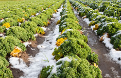 Closeup of curly kale with snow Stock Image