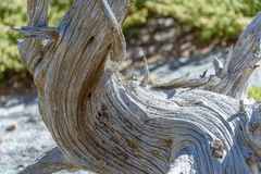 Closeup of the curved crooked distorted old tree in a national park, USA Stock Photo