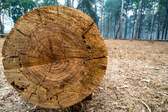 Closeup of cut tree trunk with details of annual ring on the surface in pine tree forest. 1 royalty free stock image