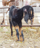 Closeup of cute adorable baby goat or kid Royalty Free Stock Photo