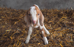 Closeup of cute adorable baby newborn  goat or kid Stock Photography