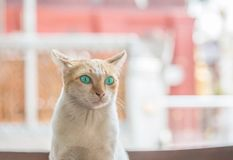Closeup cute cat with beautiful green eye sit on table on blurred house view background. Closeup cute cat with green eye sit on table on blurred house view stock photography