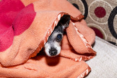 Closeup of a cute chihuahua dog under the blanket Stock Image