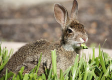 Closeup of cute cottontail bunny rabbit eating grass Stock Photography