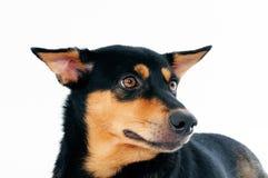 Closeup of a cute dog Stock Photography
