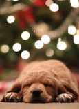 Closeup of the cute face of a Cocker Spaniel type of dog laying on the floor stock images