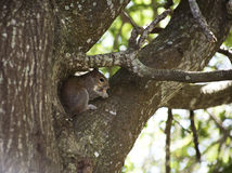 Closeup of cute grey squirrel eating peanut, sitting on a tree branch. Royalty Free Stock Photography