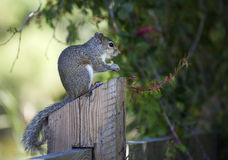 Closeup of cute grey squirrel eating peanuts. Stock Photography