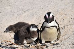 Closeup of a cute Penguin family on the Boulders Beach in Cape Town in South Africa. Closeup a cute Penguin on the Boulders Beach in Cape Town in beautiful South stock images